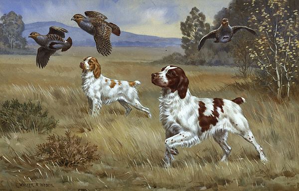 Illustration Photograph - Brittany Spaniels Flush Three Birds by Walter A. Weber