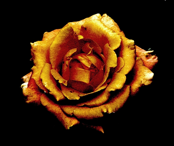Bronze Rose Photograph - Bronzed Rose by Angela Davies