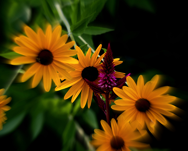 Floral Photograph - Brown Eyed Susans by Martin Morehead