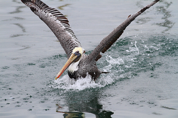 Animal Photograph - Brown Pelican Landing On Water . 7d8372 by Wingsdomain Art and Photography