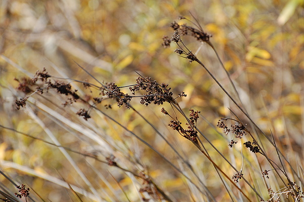 Brown Photograph - Brown Wildgrass by Jean Booth
