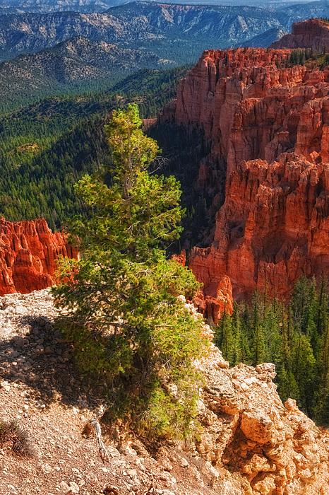 Pine Tree Photograph - Bryce Canyon - Pine Tree by Bob Coates