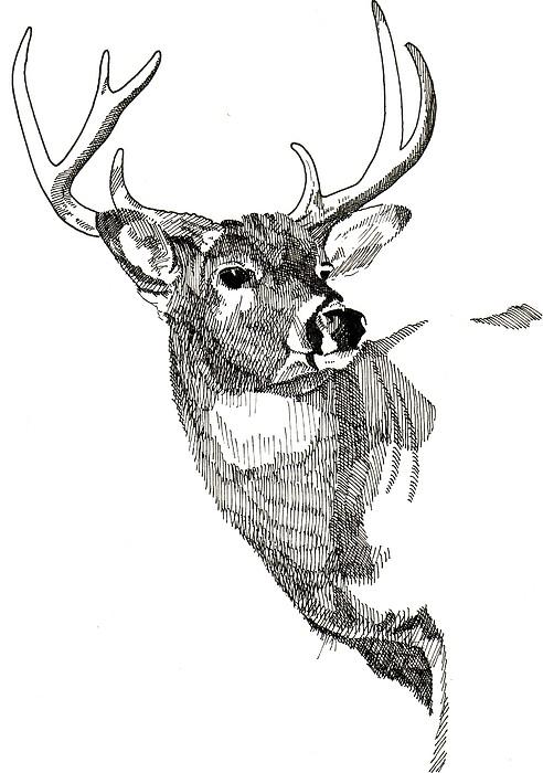Deer Drawing - Buck by Nelson Haas