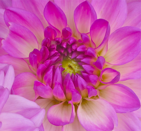 Photograph Of Dahlia Photograph - Buddy Up Close by Gwyn Newcombe