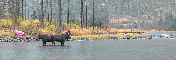 Moose Photograph - Bull And Cow Moose In East Rosebud Lake Montana by Gary Beeler