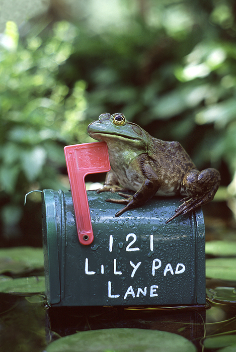 Mailbox Photograph - Bullfrog by Kenneth H Thomas and Photo Researchers