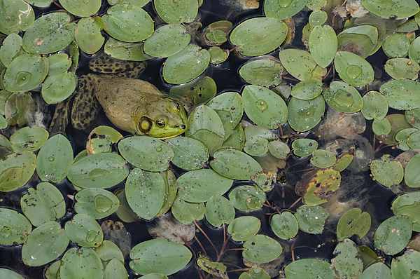 Frog Photograph - Bullfrog No. 1 - Mystic Connecticut by Henry Krauzyk