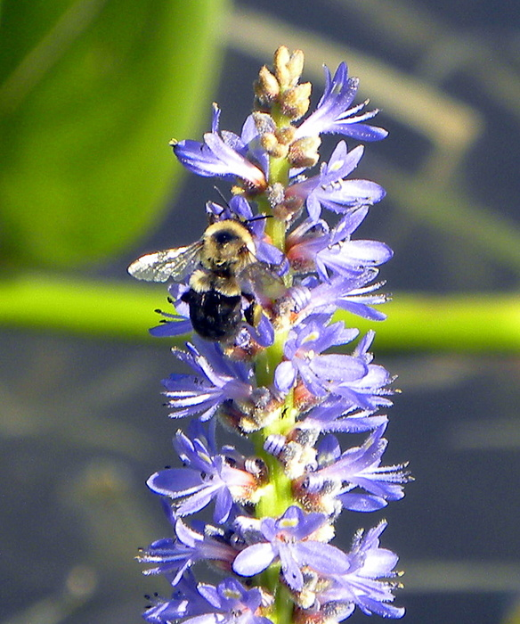 Bee Photograph - Bumble Bee On Purple Pickerel Rush by Terri Mills