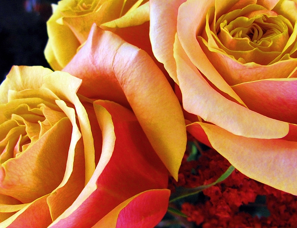 Roses Photograph - Burning Passion by Pam Utton