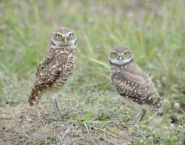 Burrowing Owl Photograph - Burrowing Owls Nesting by Keith Lovejoy