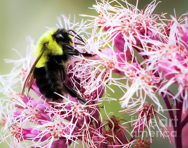 Canon Photograph - Busy As A Bumblebee by Ricky L Jones
