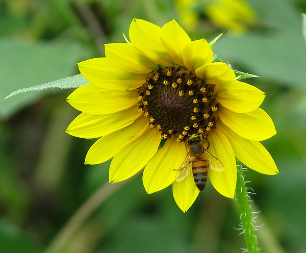 Sunflower Photograph - Busy Bee by Christine Berry