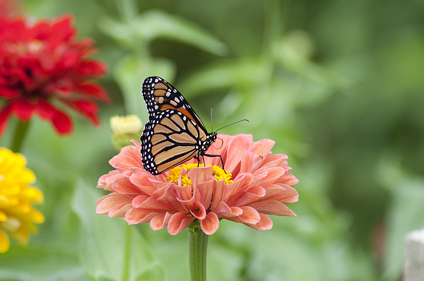 Butterflies Photograph - Butterflies And Blossoms by Bill Cannon