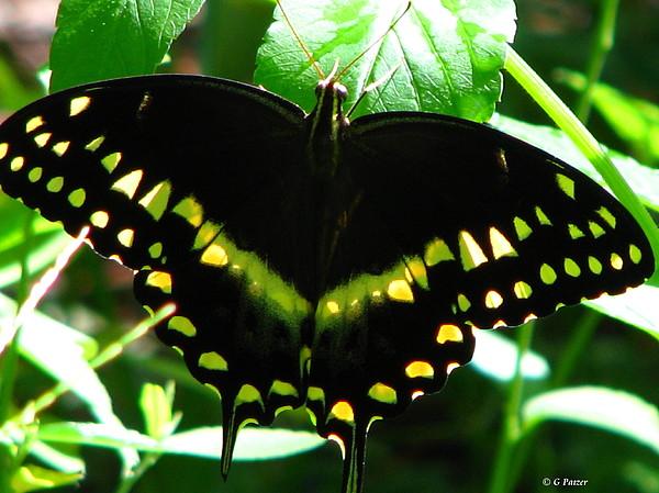 Patzer Photograph - Butterfly Art 3 by Greg Patzer