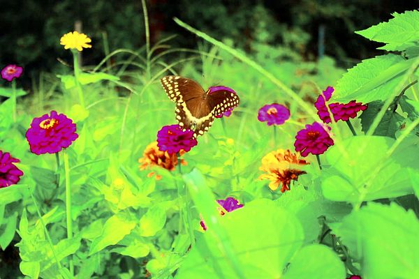Flowers Photograph - Butterfly At Work by Jill Tennison
