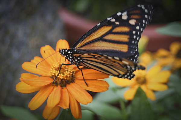 Butterfly Photograph - Butterfly by Christina Durity