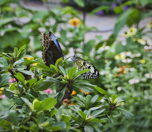 Butterfly Photograph - Butterfly Dance by Christina Durity