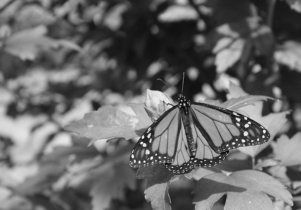 Butterfly Photograph - Butterfly In Black And White by Allison Whitener