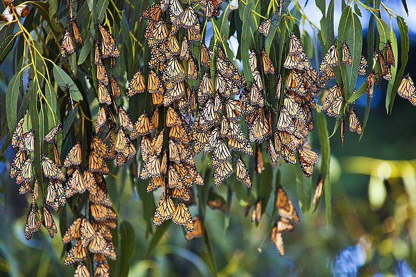 Butterflies Photograph - Butterfly Leaves by Greg Clure