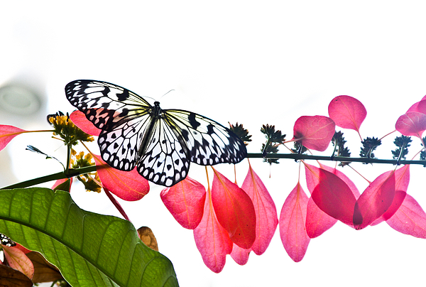 Butterfly Photograph - Butterfly by Vanessa Garcia