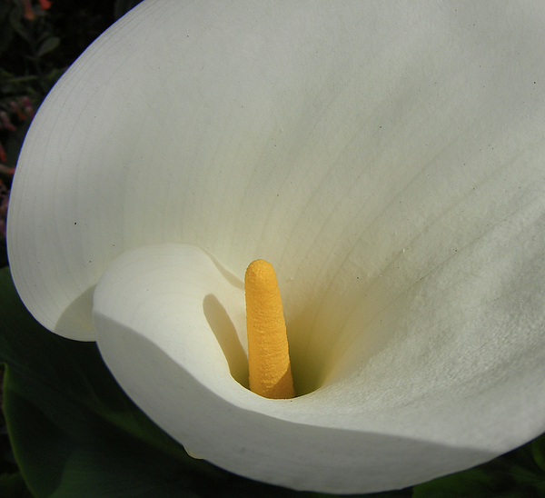 Calla Lily Photograph - C-a-l-l-a by Wilma Stout
