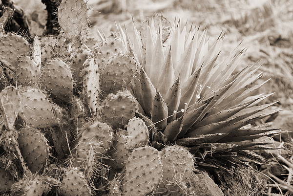 Prickly Pear Cactus Photograph - Cactus by Bob Coates