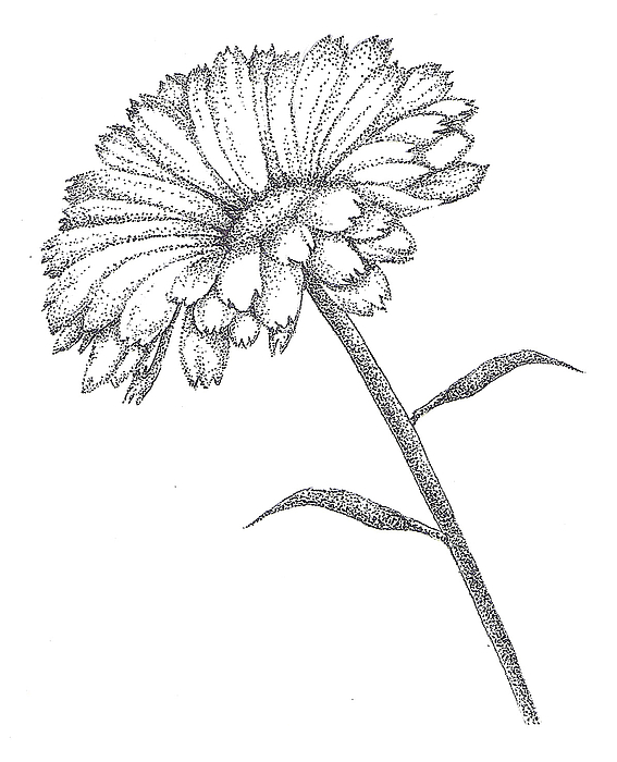 Marigold Flower Line Drawing : Calendula drawing by christy beckwith