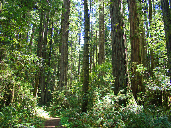Redwood Photograph - California Redwood Trees Forest Art Prints by Baslee Troutman
