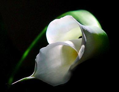 Flower Photograph - Calla In Repose by Linda Sabaj