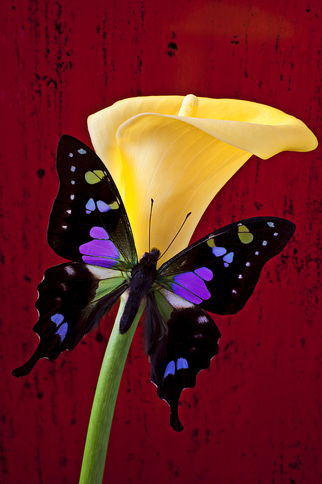 Butterfly Photograph - Calla Lily And Purple Black Butterfly by Garry Gay