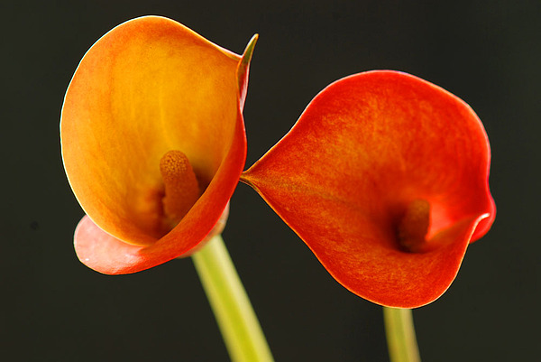 Flower Photograph - Calla Lily by Dennis Hammer