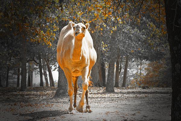 Camel Photograph - Camel by Douglas Barnard