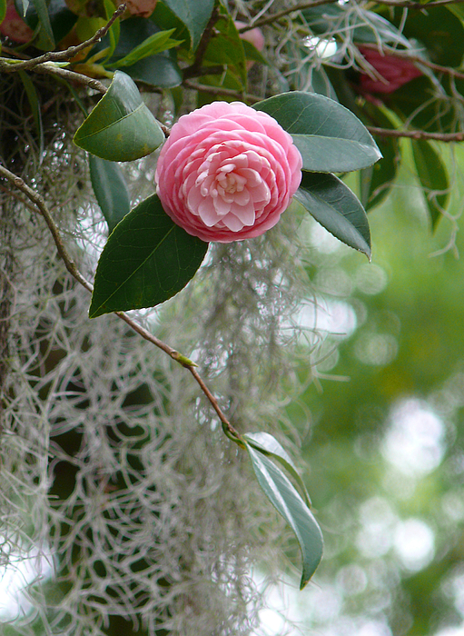 New Orleans Photograph - Camellia And Moss by Jeanne  Woods