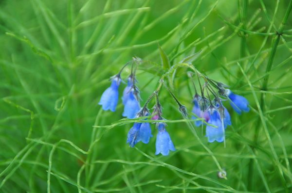 Flower Photograph - Can You Hear The Blue Bells by Bj Hodges