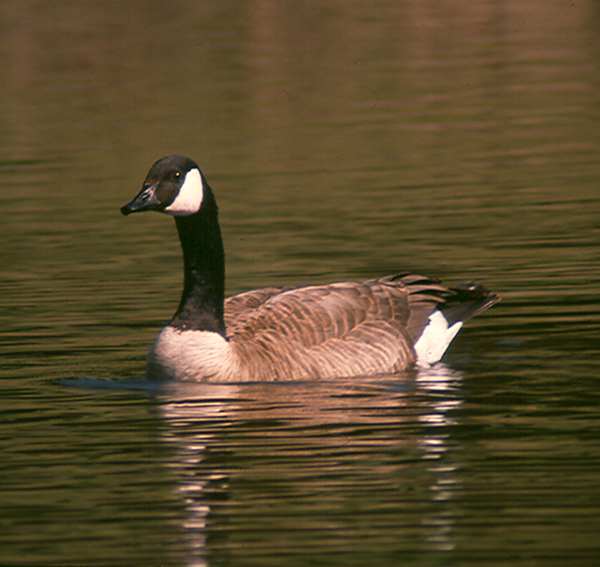 Canada Goose Photograph - Canadian Goose by Bonnie Muir