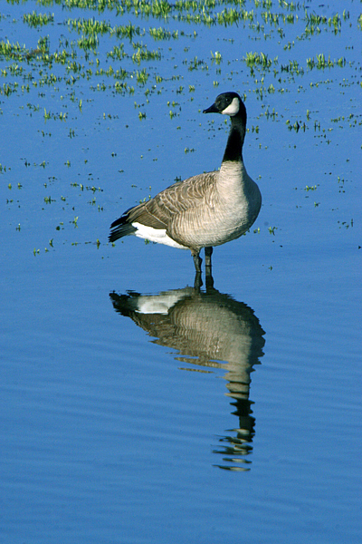 Landscape Photograph - Canadian Goose by Colby Elliot