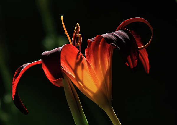 Lily Photograph - Candle In The Wind by Donna Kennedy