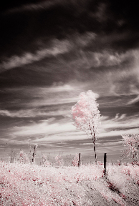 Infrared Photograph - Candy Cotton Dream by Lea Seguin