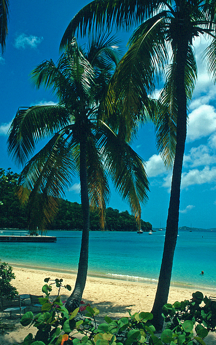 Beaches Photograph - Caneel Bay Palms by Kathy Yates