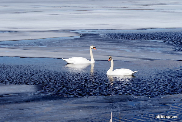 Swans Photograph - Cant Wait For Spring by Lois Lepisto