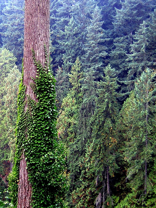 Ivy Photograph - Capilano Canyon Ivy by Will Borden