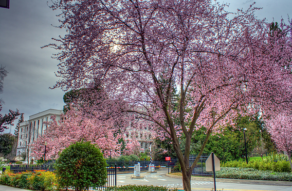 Lavendar Photograph - Capitol Tree by Randy Wehner Photography