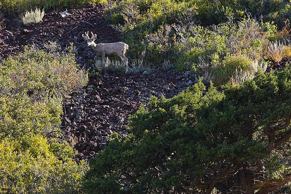 Black Mesa Photograph - Capulon Buck by Charles Warren