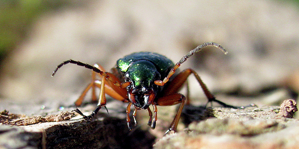 Beatle Photograph - Carabus Auronitens by Jana Goode