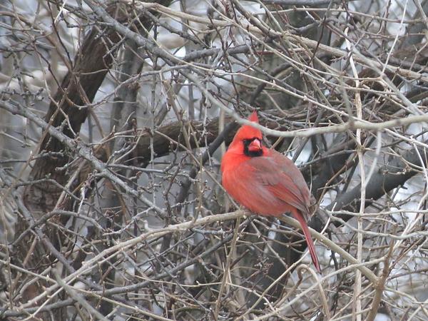 Cardinal Photograph - Cardinal 1 by Vijay Sharon Govender