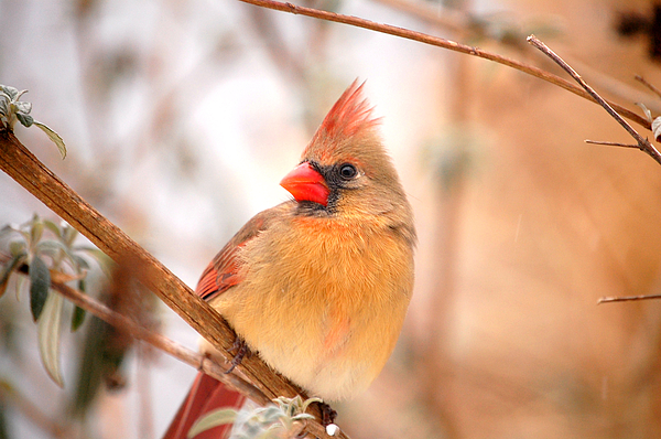 Landscape Photograph - Cardinal Bird Female by Peggy Franz