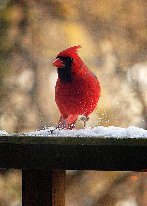 Cardinal Photograph - Cardinal by Kelly  Burke