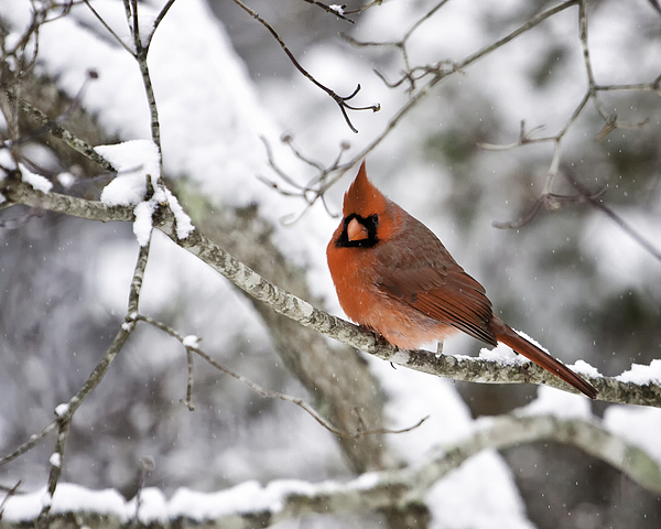 Bird Photograph - Cardinal On Snowy Branch by Rob Travis