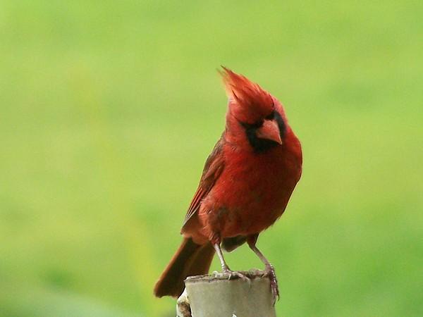 Nature Photograph - Cardinal by ShadowWalker RavenEyes Dibler