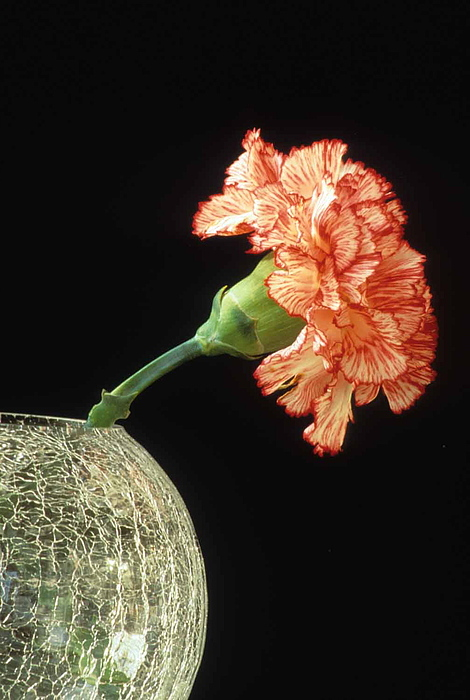 Carnation Photograph - Carnation by Laurie Paci